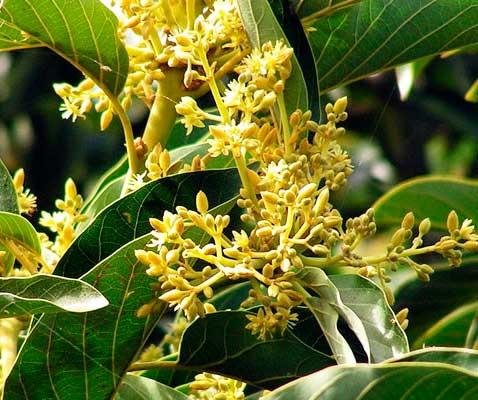 Муира Пуама (дерево потенции)