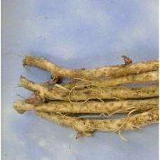 Аралия высокая корень