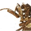 Стеллера карликовая (корень)