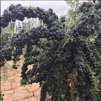 Чёрные ягоды годжи